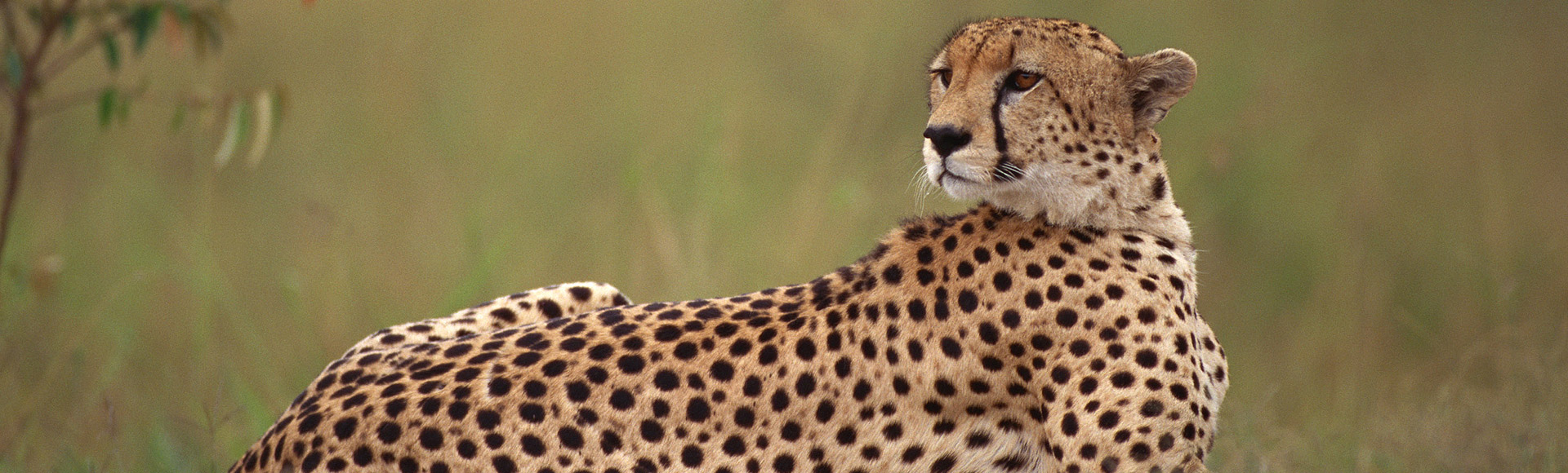 Cheetah in the Serengeti National Park