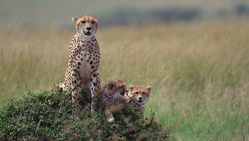 Cheeters in the Serengeti