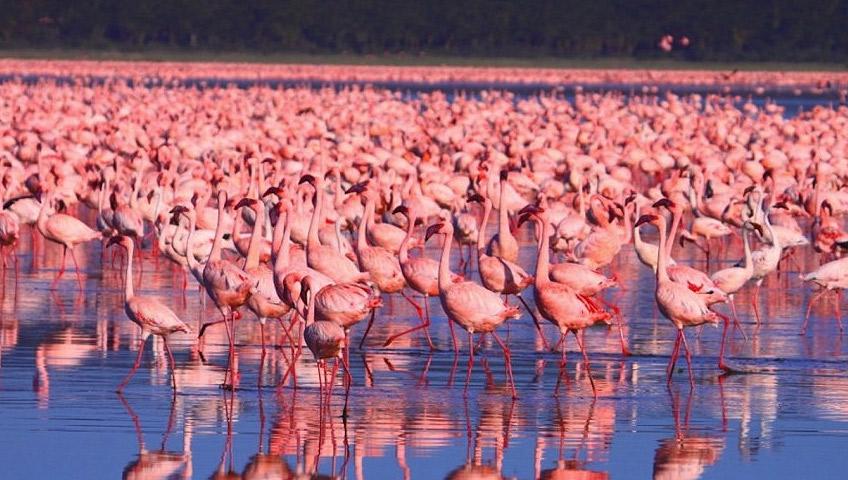 Image result for nakuru flamingo