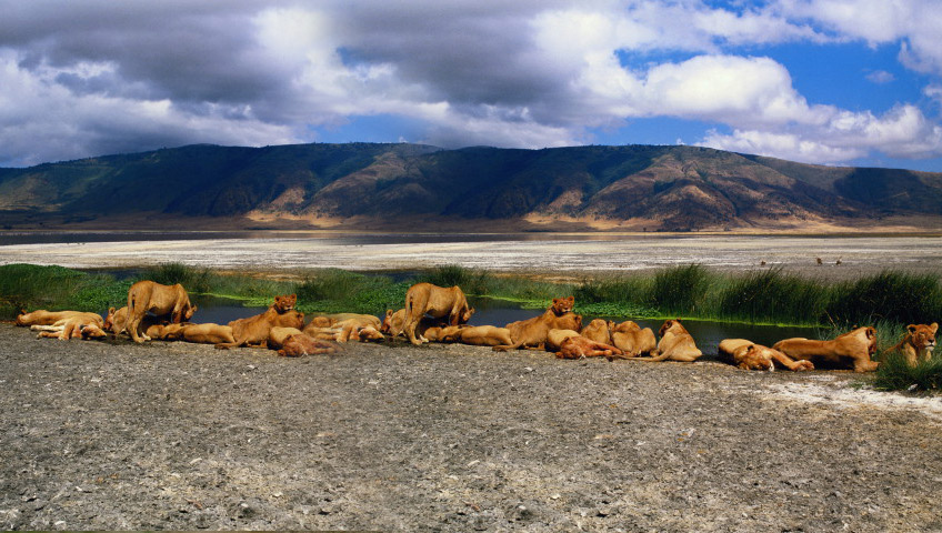 Lion pride in the ngorongoro crater